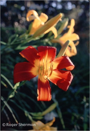 Orange Daylilly, Backlit