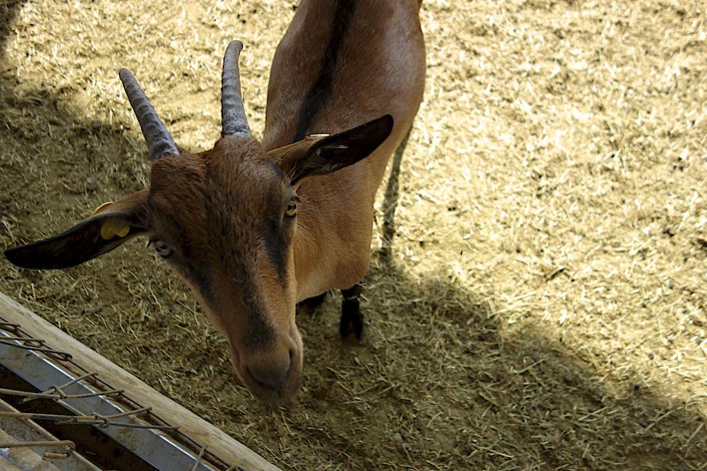 alpine goat studies the camera