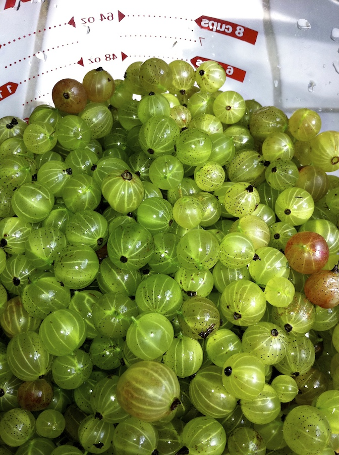 just picked gooseberries in measuring cup ready to make jam