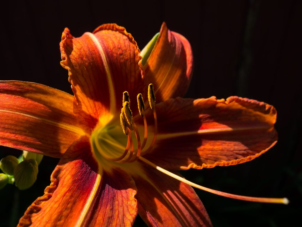 day lily close up lit up