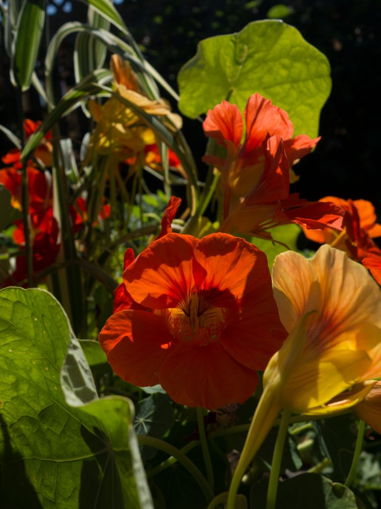 orange and yellow backlit nasturtiums