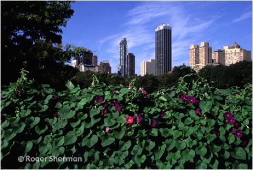 Morning Glories in Manhattan
