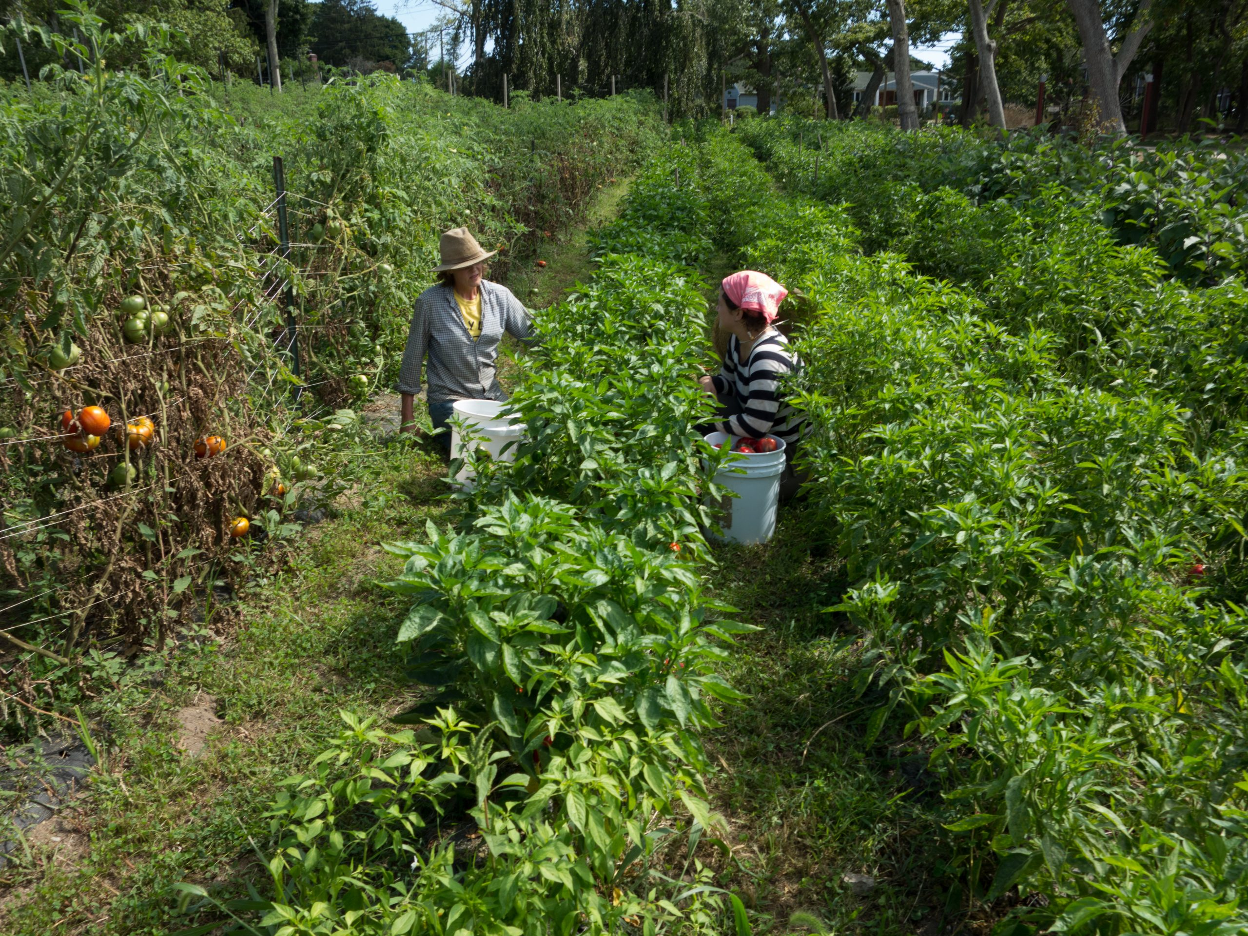 Patty and chef Mary Attea harvesting